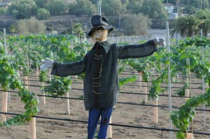 Halloween scarecrow guarding the Elliot's vineyards (Photo: David Hopley)